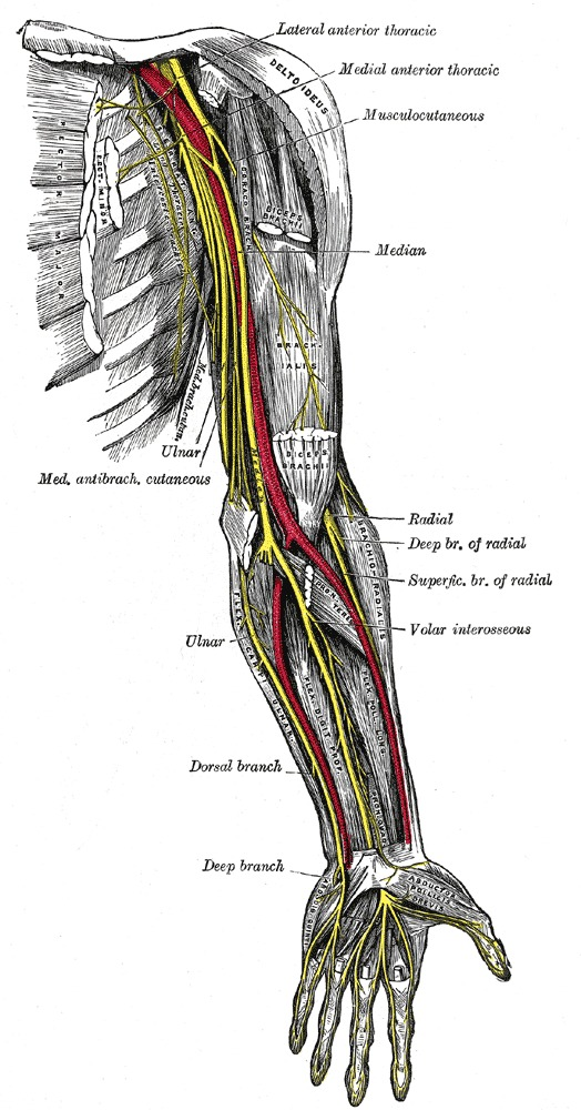 Figure The Anterior Division Nerves Of Statpearls Ncbi