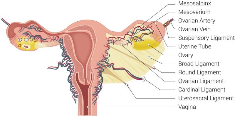 Figure, Uterus Ligaments, Mesosalpinx, Mesovarium, Ovarian ...
