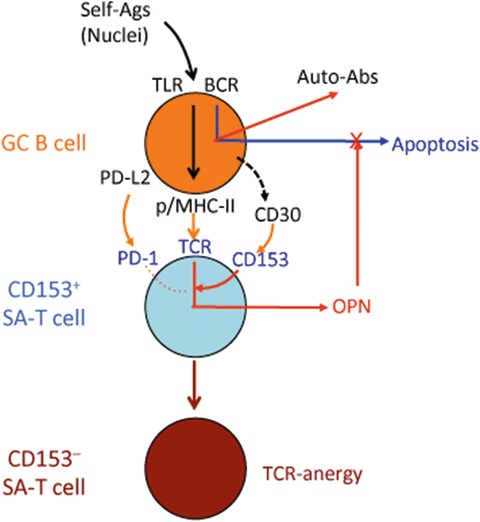 Fig. 6, [CD153+ SA-T cells specifically