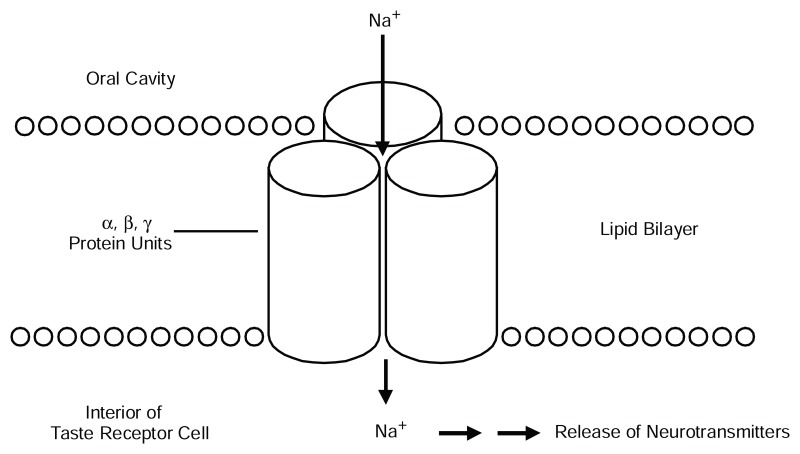 FIGURE 3-4. An epithelial sodium channel (ENaC).