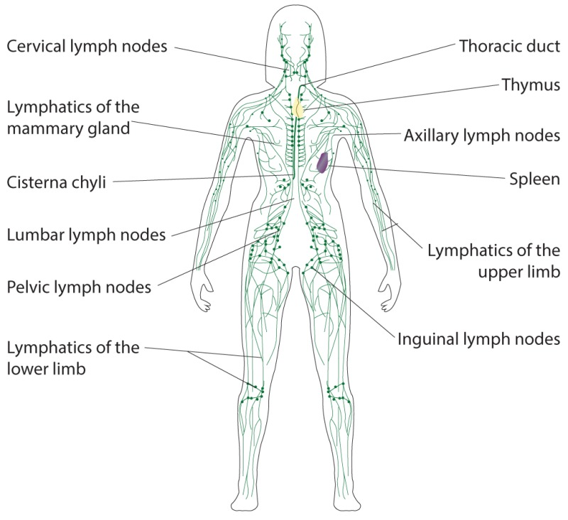 Figure Lymphatic System Cervical Lymph Nodes Statpearls Ncbi Bookshelf The cisterna chyli (cc), also known as the receptaculum chyli, is a normal anatomical structure in the lymphatic system. figure lymphatic system cervical