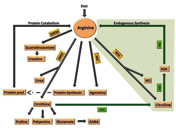 Figure 1  [Metabolic fates of arginine]  - GeneReviews