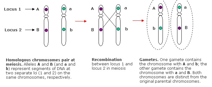 Box learn more recombination genereviews ncbi bookshelf the behavior during meiosis of alleles at two loci 1 and 2 on the same chromosome depends on their proximity ccuart Image collections