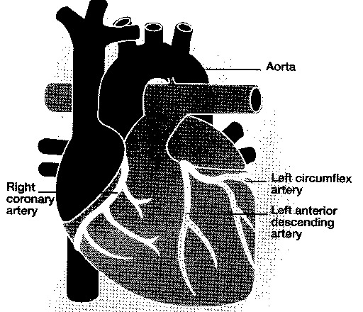 Outer view of heart showing the coronary arteries.