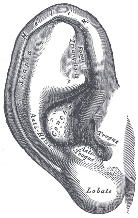 Figure Basic Outer Ear Anatomy From Statpearls Ncbi Bookshelf