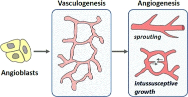 FIGURE 1.3. Basic types of primary vascular growth. Redrawn after Carmeliet and Collen (2000) [21].