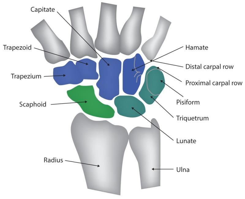 Wrist Joint, Capitate, Trapezoid, Trapezium, Scaphoid, Radius, Hamate, Distal carpal row, Proximal carpal row, Pisiform, Triquetrum, Lunate, Ulna