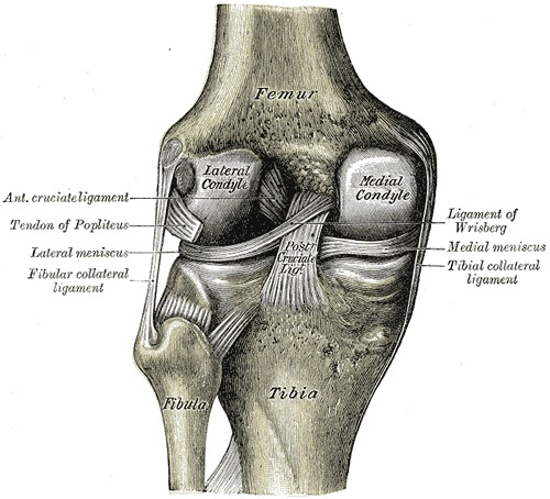 Figure Interior Ligaments Of The Left StatPearls