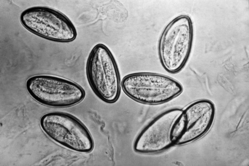 enterobius vermicularis csúszda)