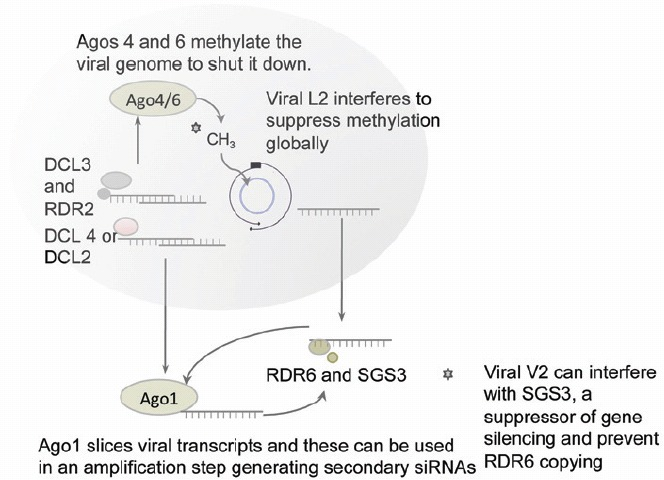 Figure 3.. Geminiviruses are ssDNA viruses that replicate via rolling replication forming dsDNA without a dsRNA stage.