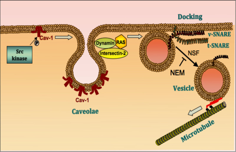 FIGURE 14. Vesicle endocytosis and transcytosis across endothelial cells.
