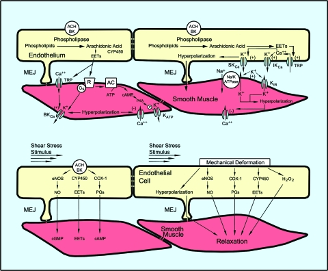 Figure 4. Metabolic mechanism of vasomotor control matches oxygen and substrate delivery supply by the vascular system to demand by skeletal muscle cells.