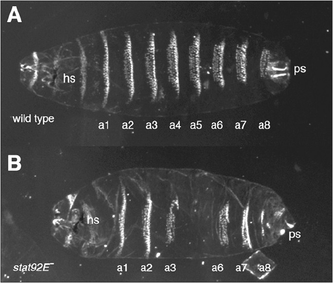 Figure 1. The late larval cuticle from a wild type larva is patterned by the segmentation process and contains a series of denticle belts characteristic for each segment (a1 to a8) A) In embryos mutant for the stat92E transcription factor (B), the fourth and fifth abdominal segments are lost (or fused) and the eighth is reduced.