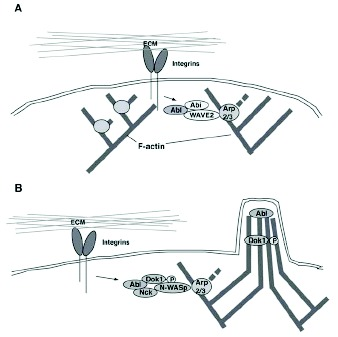 Figure 4. Abl regulates lamellipodial and filopodial formation via distinct mechanisms.