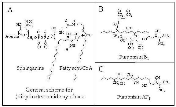 Figure 1. Scheme for the acylation of sphinganine by (dihydro)ceramide synthase emphasizing the potential for the localization of the charged groups of the sphingoid base and fatty acyl-CoA (Panel A) resembling those found in fumonisin B1 (panel B).