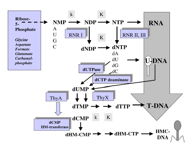 Figure 1. Metabolic pathways for RNA and DNA precursors biosynthesis: a palimpsest from the RNA to DNA world transition? The biosynthetic pathways for purine and pyrimidine nucleotides both start with ribose 5-monophosphate.