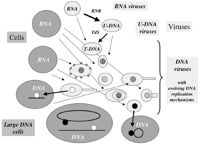 Figure 2. Evolution of DNA replication mechanisms in the viral world? This figure illustrates a coevolution scenario of cells and viruses in the transition from the RNA to the DNA world.