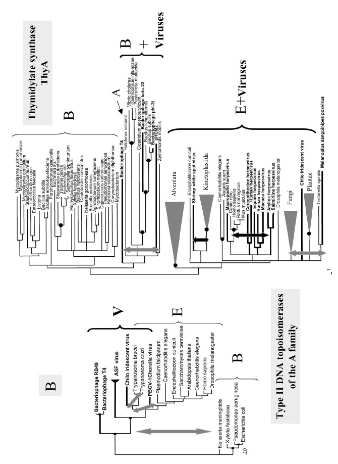 Figure 3B. Phylogenetic trees of the ribonucleotide reductases of Class I and II (A); type II DNA topoisomerase of the A family (B—left), thymidylate synthases of the ThyA family (B—right) and DNA polymerases of the B family (RNA-primed) (from ref.