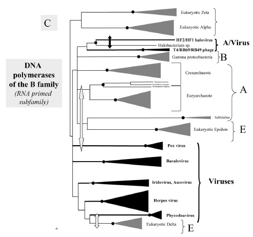 Figure 3C. Phylogenetic trees of the ribonucleotide reductases of Class I and II (A); type II DNA topoisomerase of the A family (B—left), thymidylate synthases of the ThyA family (B—right) and DNA polymerases of the B family (RNA-primed) (from ref.