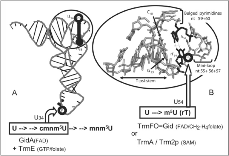 differences between dna and rna. Folate-Dependent Thymidylate-Forming Enzymes: Parallels etween DNA and RNA Metabolic Enzymes and Evolutionary Implications - Madame Curie Bioscience