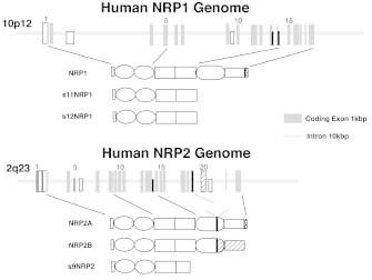 Paramyxovirus Genome Structure | RM.