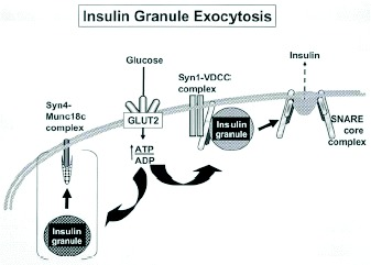 Figure 3. Model depicting the hypothetical pathways of glucose-stimulated insulin release from insulin secretory granules in islet beta cells regulated by Syntaxin 1 (Syn1) and Syntaxin 4 (Syn4) based SNARE complexes.