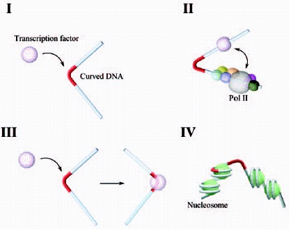 Figure 3. Possible roles of curved DNA in eukaryotic transcription.