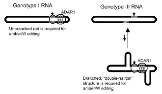 Figure 4. Schematic of RNA structures required for amber/W site editing in HDV genotypes I and III.