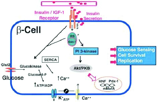 Figure 1. Schematic of insulin/IGF-I signaling pathways in the islet β-cell.