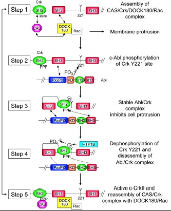 Figure 2. Proposed mechanism of Abl regulation of CAS/Crk coupling and membrane protrusion.