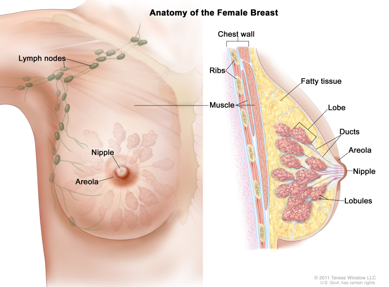 Figure Anatomy Of The Female Breast Pdq Cancer Information