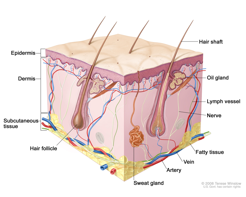 Figure, Anatomy of the skin, showing the epidermis, dermis, and ...