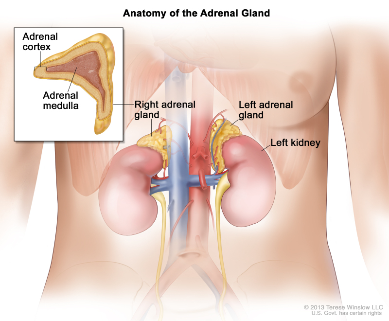 Figure, Anatomy of the adrenal gland...] - PDQ Cancer Information ...