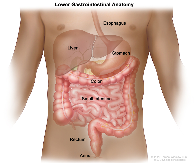 Figure Anatomy Of The Lower Digestive System Showing The Colon And