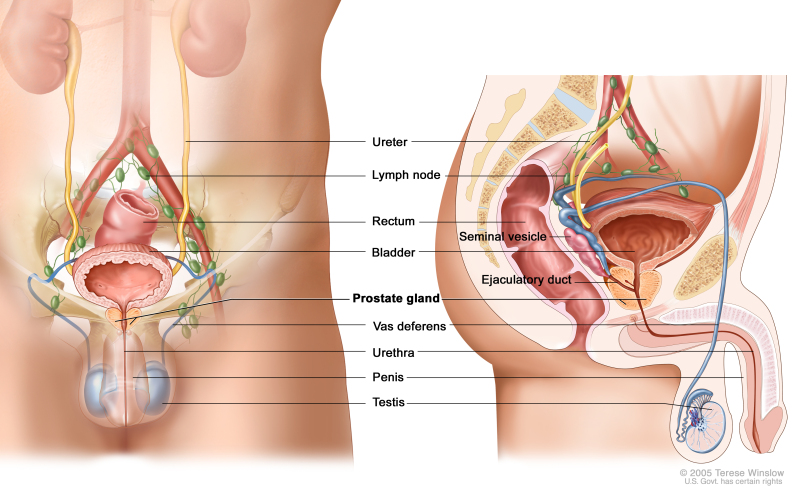 Figure Anatomy Of The Male Reproductive Pdq Cancer