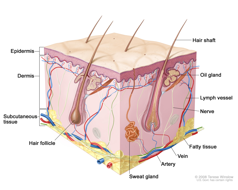 figure, anatomy of the skin, showing the epidermis, dermis, and  subcutaneous tissue.] - pdq cancer information summaries - ncbi bookshelf  ncbi