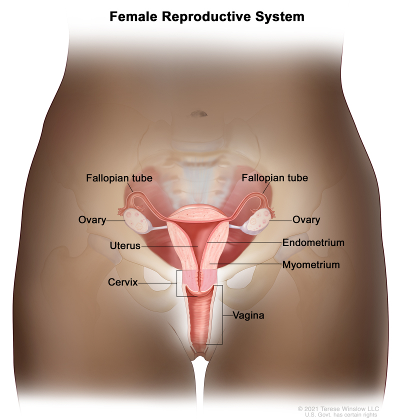 Figure Anatomy Of The Female Reproductive System Pdq Cancer