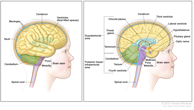 Figure Anatomy Of The Brain The Pdq Cancer Information