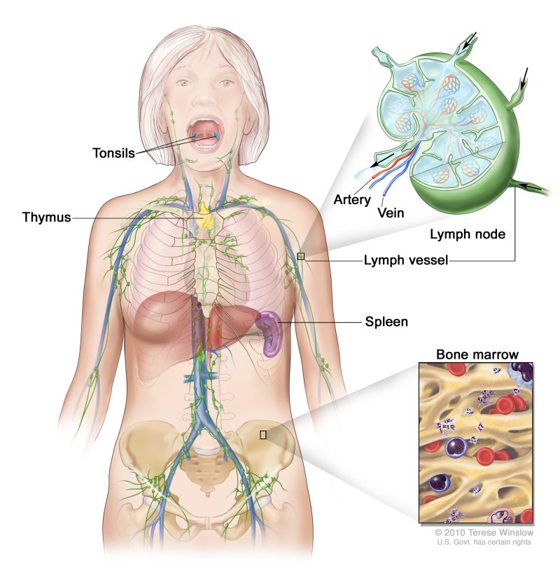 Figure Anatomy Of The Lymph System Pdq Cancer Information