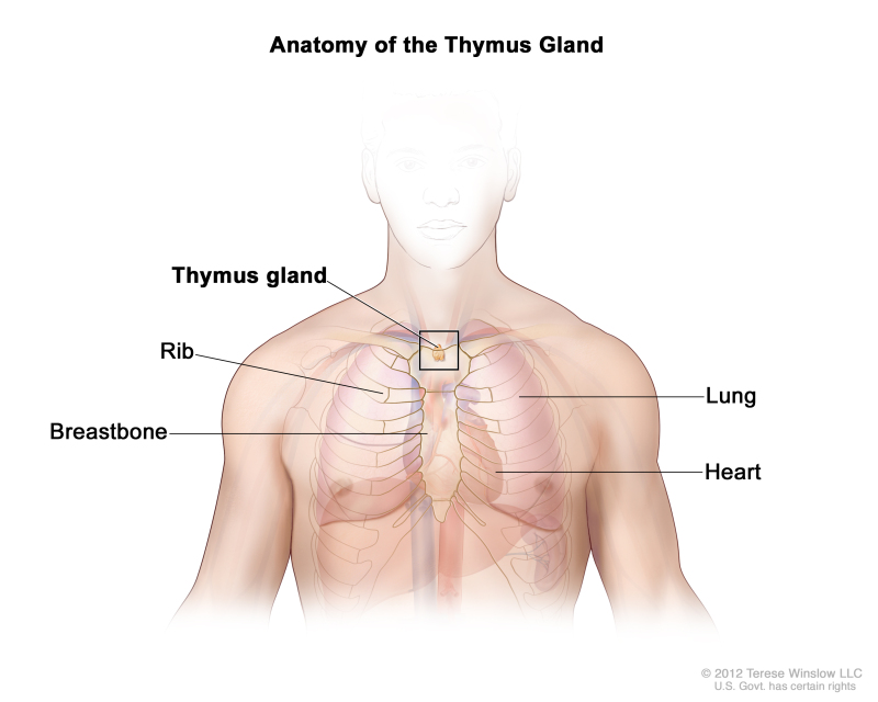 Figure, Anatomy of the thymus gland...] - PDQ Cancer Information ...