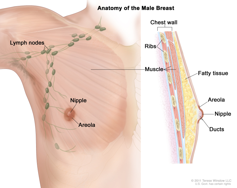 Figure Anatomy Of The Male Breast Pdq Cancer Information