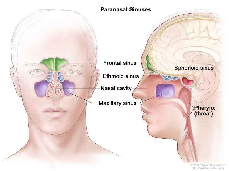 Figure, Anatomy of the paranasal sinuses (spaces between the bones ...