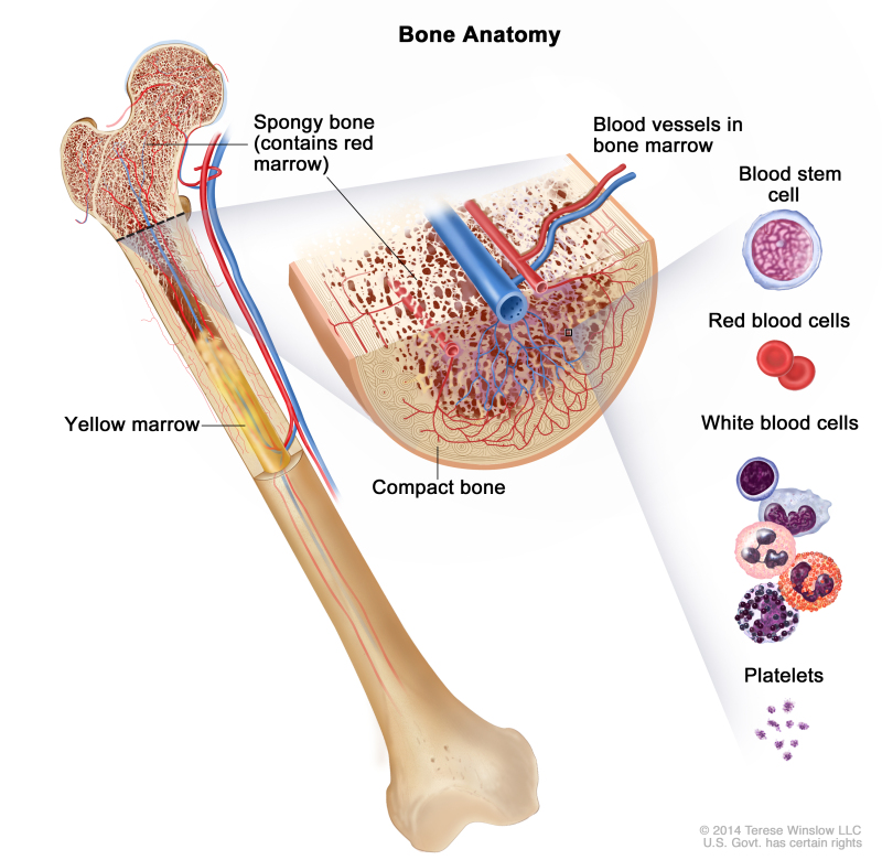 Figure Anatomy Of The Bone The Pdq Cancer Information
