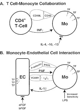 Figure 1. Importance of cell-cell interactions for the induction of TF in monocytes and endothelial cells.