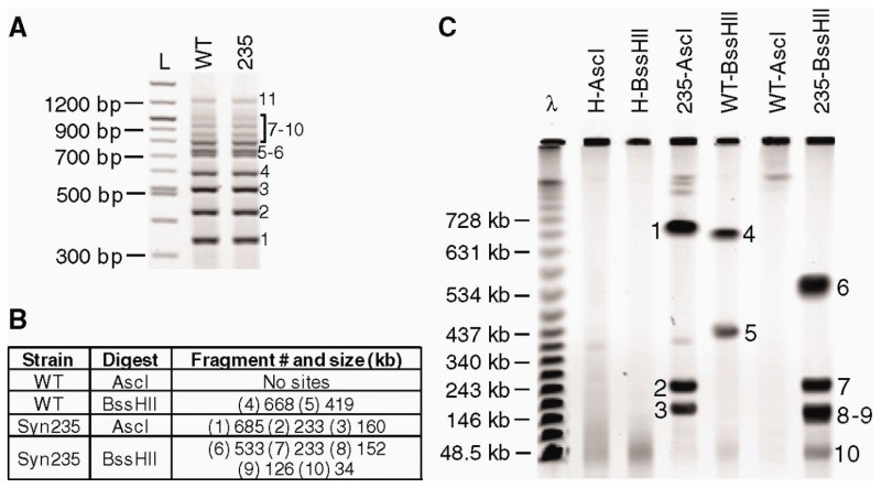 A characterization of the synthetic genome isolated from yeast