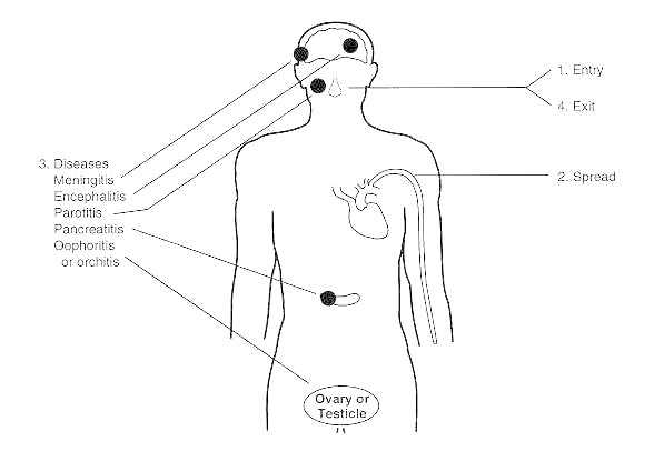 Figure 59-3. Pathogenesis of mumps virus infection.