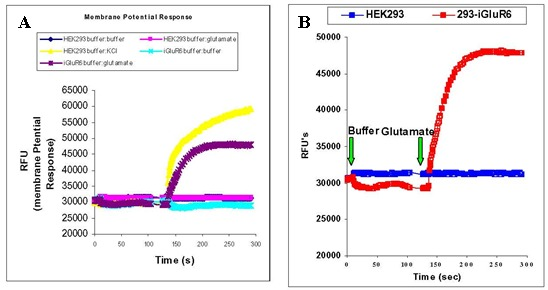 Figure 10. . A) The HEK293 response to KCl vs the 293-iGluR6 response to glutamate.