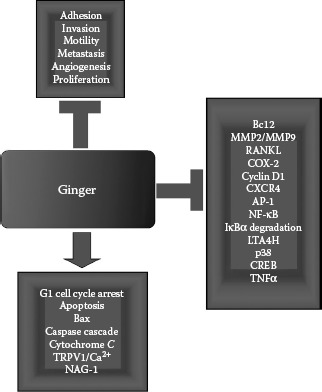 FIGURE 7.3. The anticancer activities exerted by ginger.