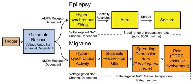 Figure 1, Schematic illustration of the putative chain of cellular ...