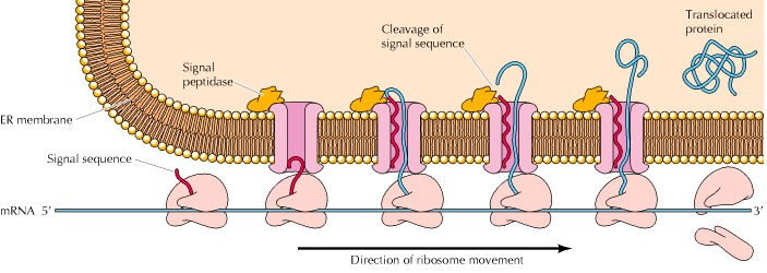Figure 7.23. The role of signal sequences in membrane translocation.